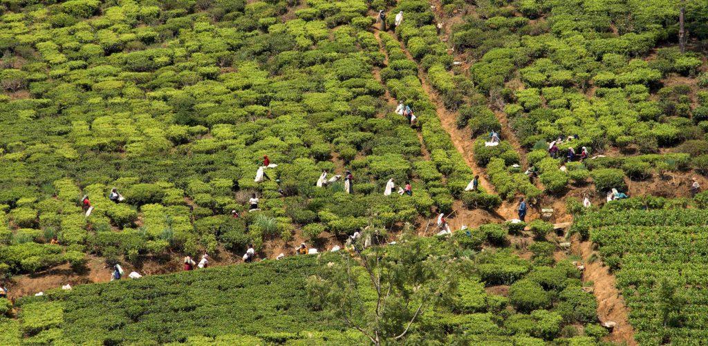 piantagioni tè sri lanka