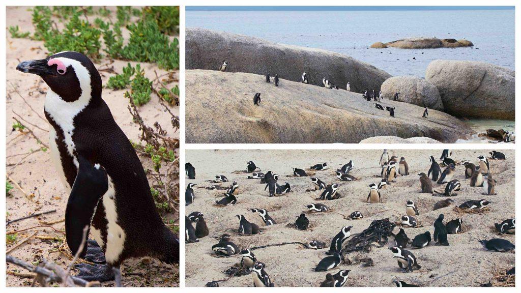 spiaggia pinguini città del capo