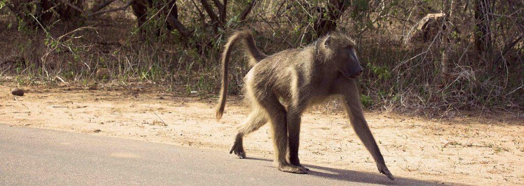 scimmie africa