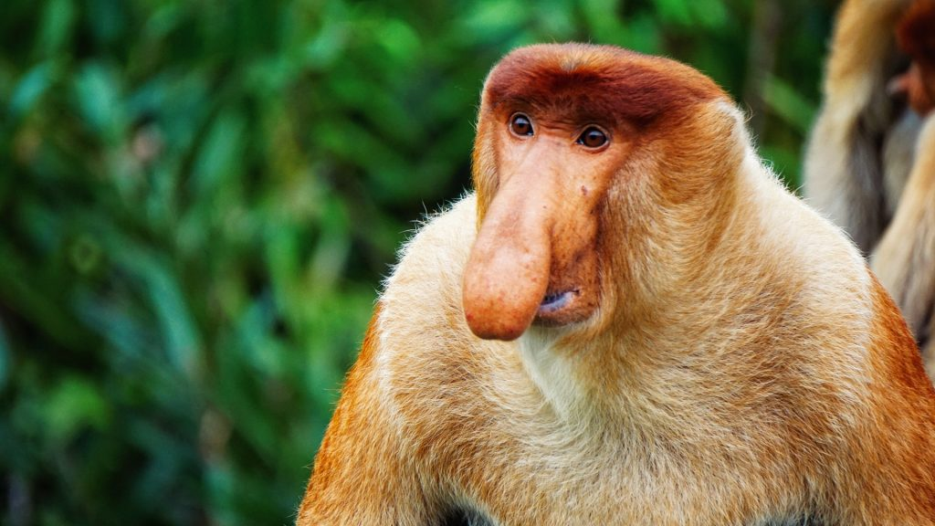 nasica proboscidal monkeys